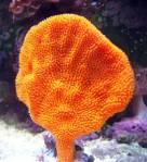 OrangeFanSpongeSmall